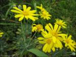 The Flowers of Yamasa
